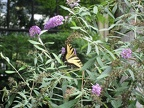 Another view of the Tiger Swallowtail Butterfly