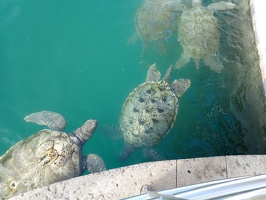 Average age of these turtles is 30 yrs old