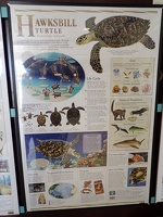 Life of a Hawksbill Turtle