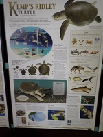Life of a Kemp's Ridley Turtle