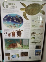 Life of a Green Turtle