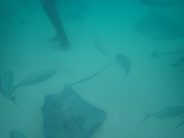 Lots of stingrays and fish...hey free food daily, you'd hang out too!